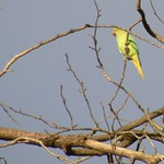 Parakeet up in a tree at Haslam Park, Preston