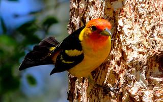 Western Tanager -- Male (Piranga ludoviciana); Santa FE National Forest, NM, Thompson Ridge [Lou Feltz]
