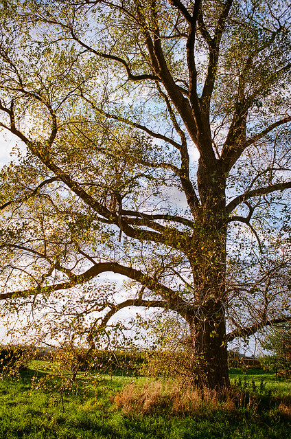 Black Poplar Ektar