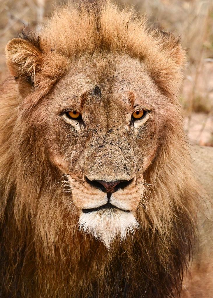 León mirándonos durante nuestro safari por África