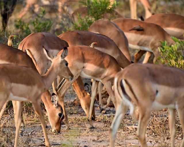 Impalas en manada en Sabi Sand