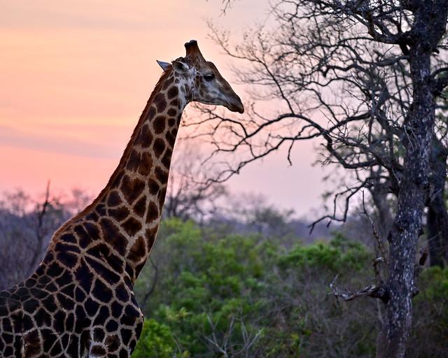 Jirafas en nuestro safari por África al atardecer