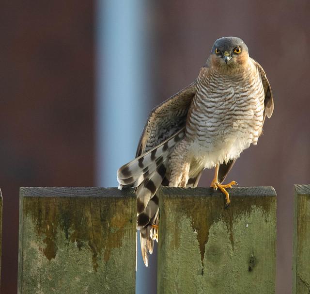 Back Garden Sparrowhawk