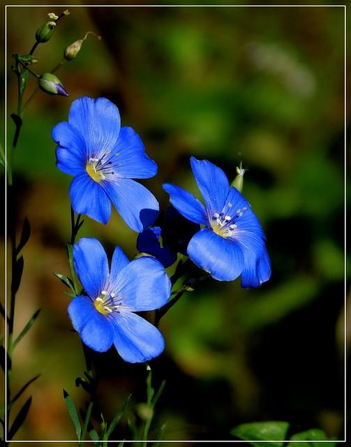 Niebieskie kwiaty.