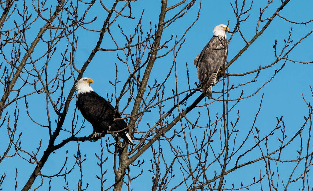 Eagle pair (1 of 1)