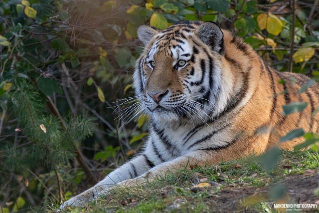 Siberian Tiger - Safaripark Beekse Bergen - The Netherlands