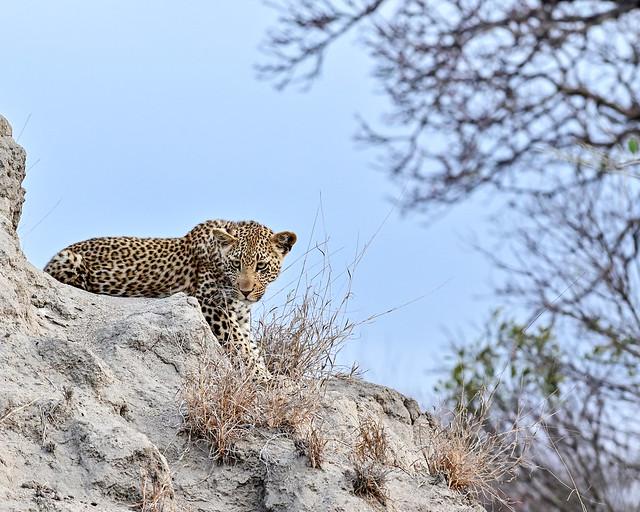 Cría de leopardo durante nuestro safari por África