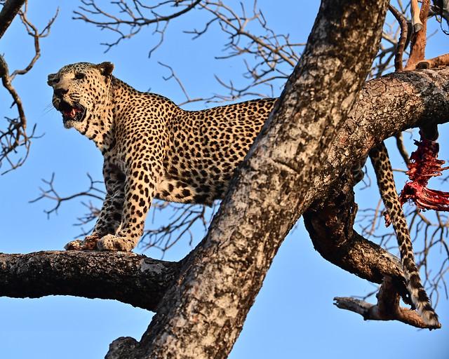 Leopardo cazando en Sudáfrica