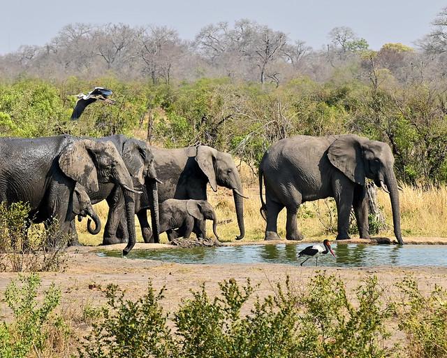 Elefantes bebiendo frente a nuestro hotel de nuestro safari por África