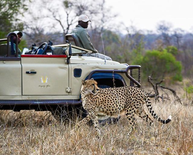 Leopardo junto a los jeeps de nuestro safari por África