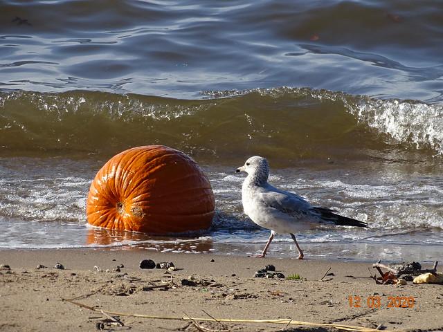 Pumpkin beach DSC07533