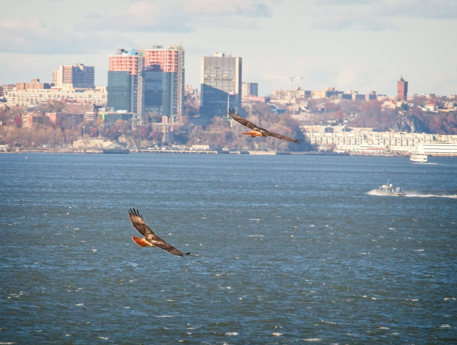 Red-tailed hawk pair over New York Harbor