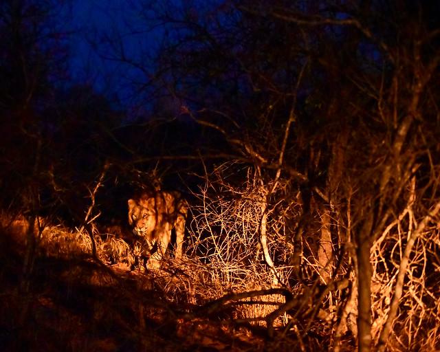 Leones cazando de noche