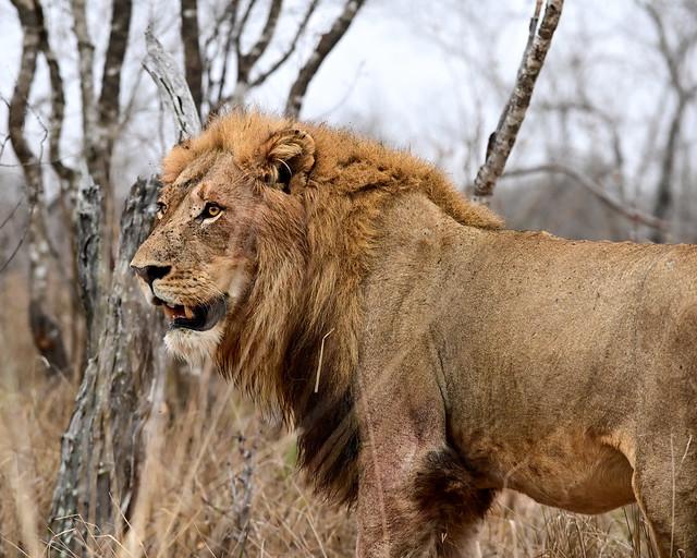 León en un safari fotográfico
