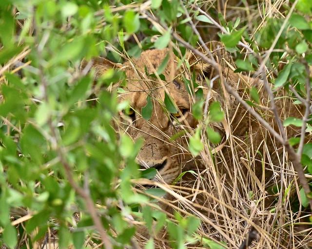 León mirándonos entre la vegetación