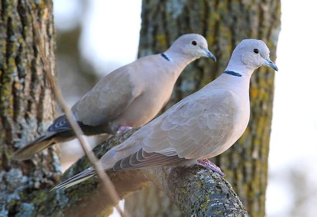 Eurasian collared doves at Lake Meyer Park IA 653A8186