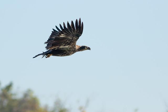 Juvenile Bald Eagle & Fish
