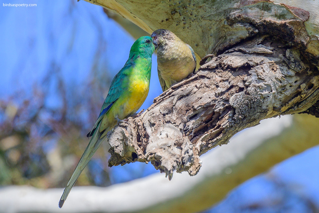 Red-Rumped Parrot: Feeding Time