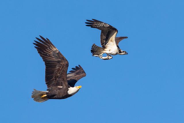 Bald eagle was chasing Osprey ....  (X08_1022)