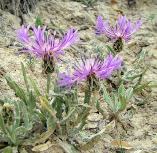 Centaurea montana 50677493323_4364356671_o