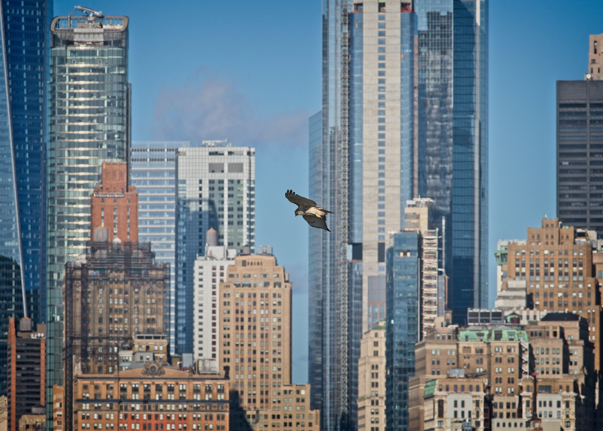 Red-tail flying past lower Manhattan