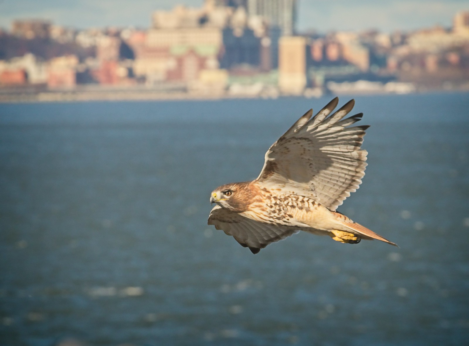 Red-tailed hawk flying over New York Harbor
