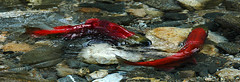 red salmon spawning in Yard Creek, BC, Canada
