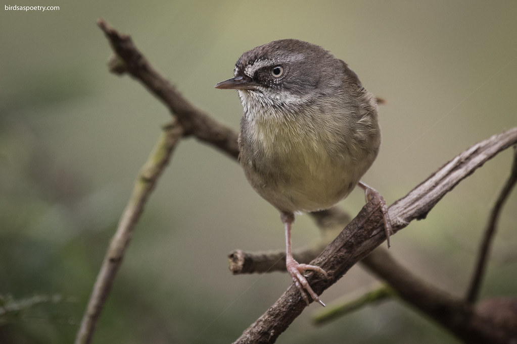 White-browed Scrubwren: Who's walking in my Neighborhood?