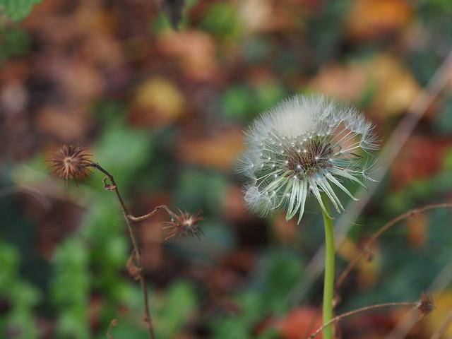 Dandelion im November