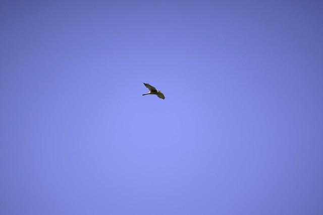 a common Kestrel - un Faucon Crecerelle