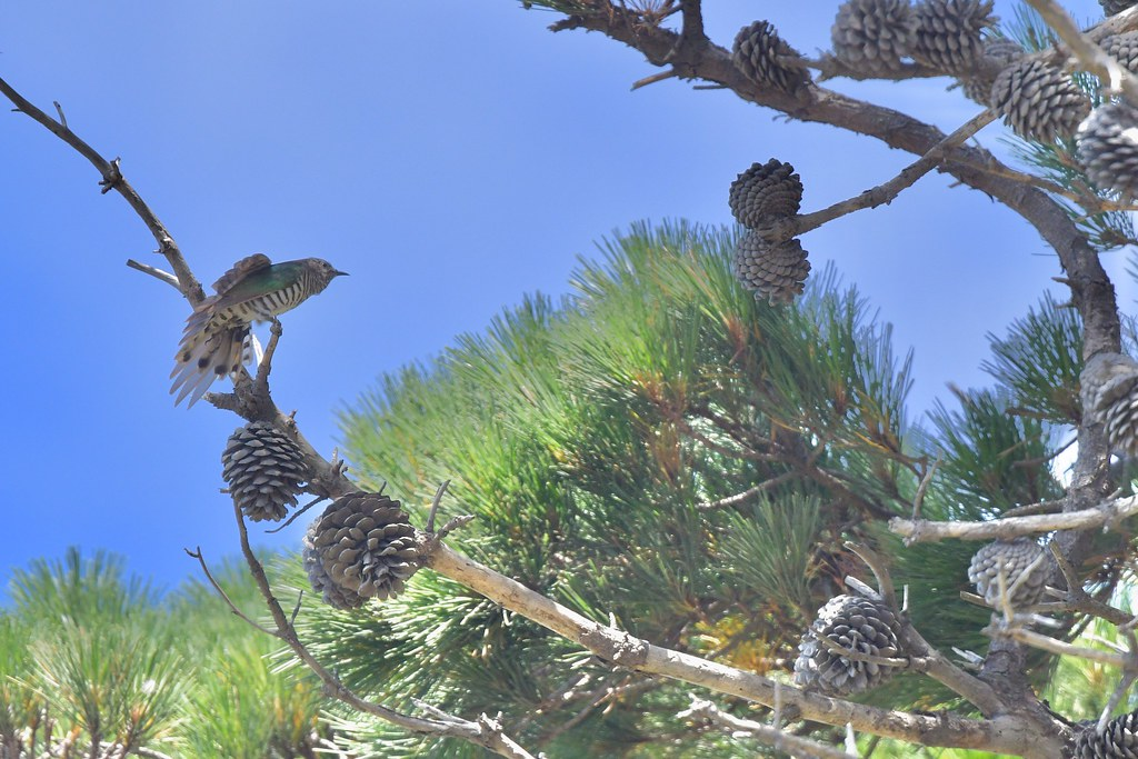 Shining Bronze - Cuckoo