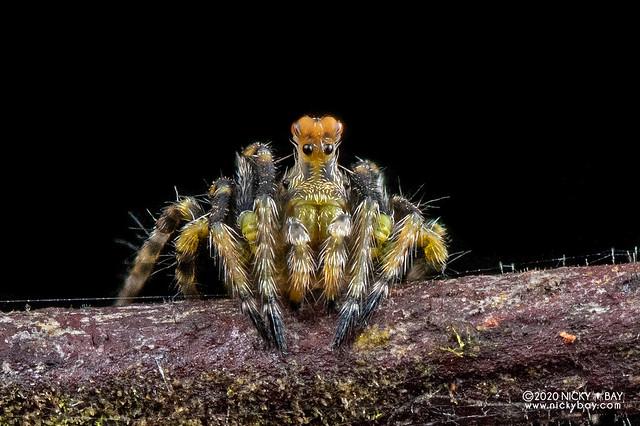Periscope orb weaver (Araneidae) - DSC_0505