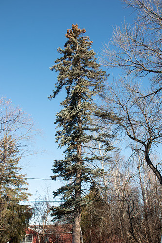 My one remaining spruce tree