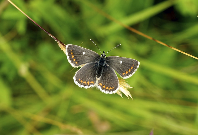 Northern Brown Argus --- Aricia artaxerxes