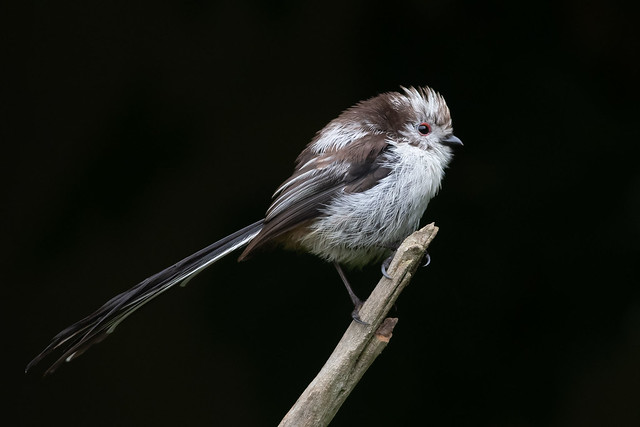 Long-tailed Tit-283