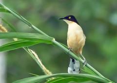 Black-capped Donacobius (Donacobius atricapilla nigrodorsalis) - 20190730-04