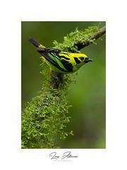 Emerald Tanager (Tandara florida)