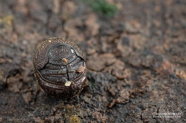 Pill scarab beetle (Madrasostes variolosum) - DSC_0843