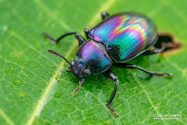 Darkling beetle (Tenebrionidae) - DSC_0824
