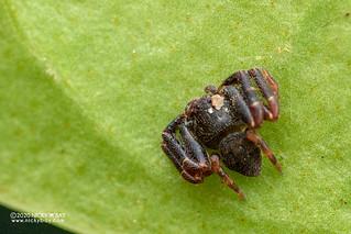 Crab spider (Thomisidae) - DSC_0551