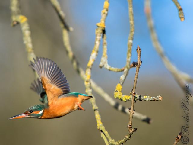 Eurasian Kingfisher alcedo atthis common kingfisher Halcyon