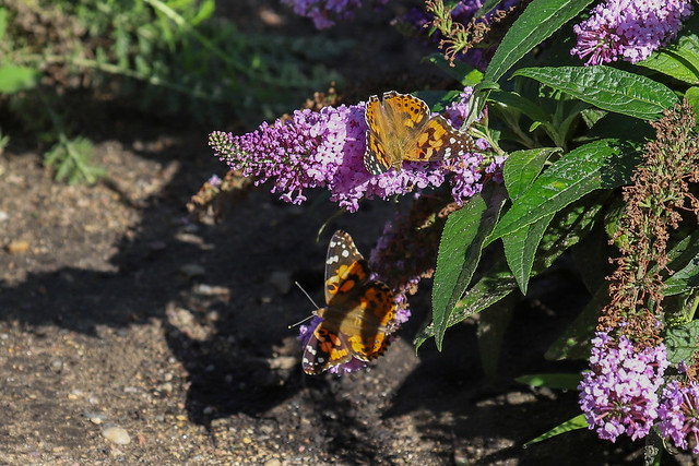 Red admirals on a butterfly bush
