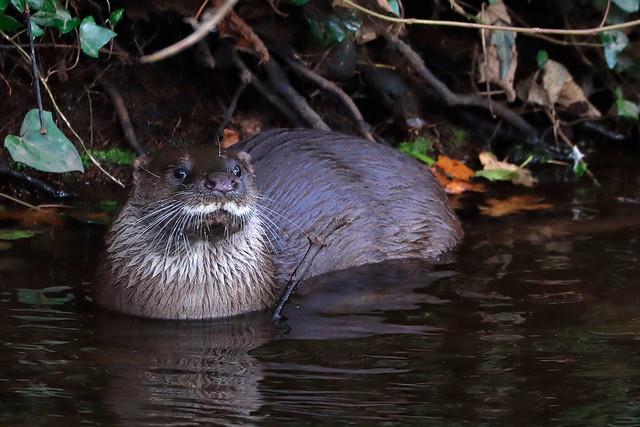 Otter on the Dodder.