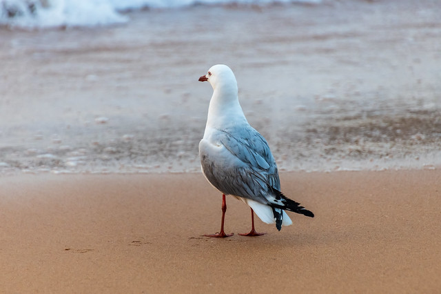 Seagull at the beach looking out to sea