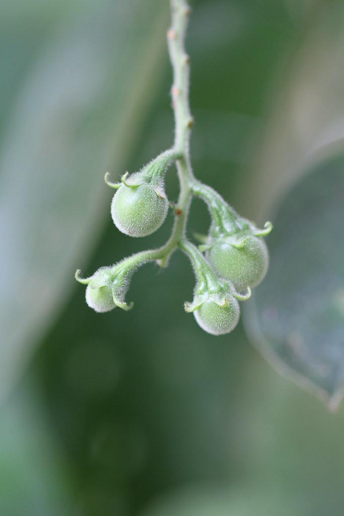 Solanum paniculatum L.