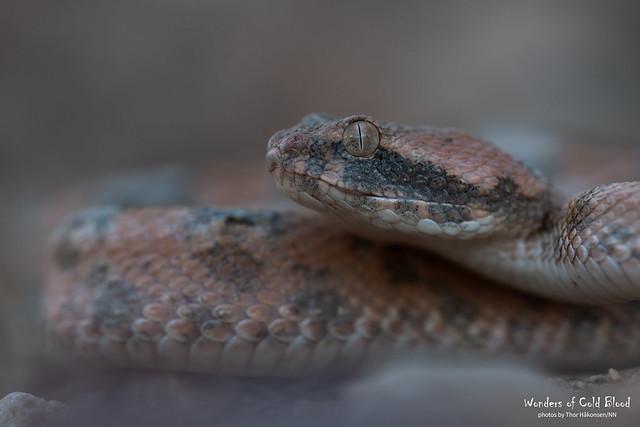 Echis coloratus