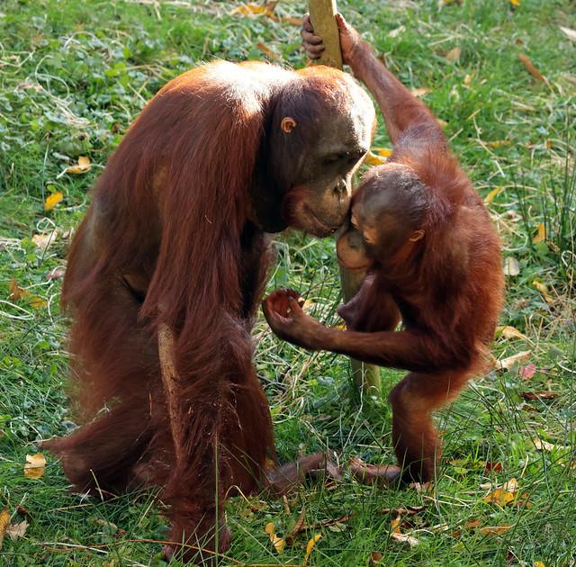 borneo orangutan Kawan and baju apenheul 9K2A6880