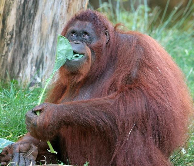 Borneo orangutan Sandy Apenheul 9K2A6363