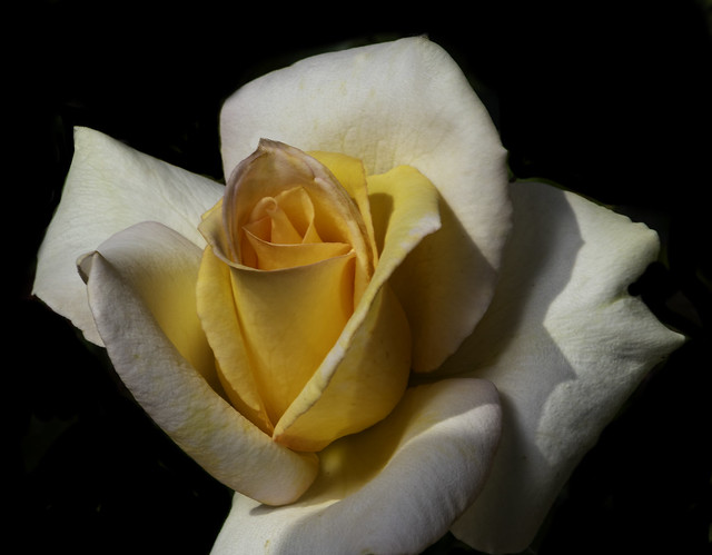 White And Yellow Rose From Balboa Park