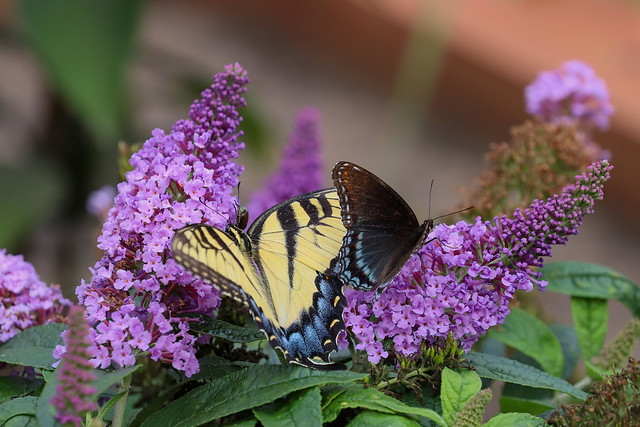 Red spotted purple butterfly and Eastern tiger swallowtail